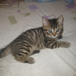 Отдам Британских породистых котят, Новосибирск