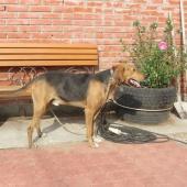 Отдам собаку, порода гончая, Новосибирск