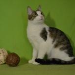 Домашняя кошечка Ассоль, Новосибирск