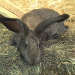 Кролики фландеры, Новосибирск