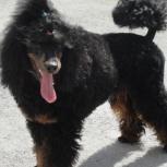 Помогите найти собаку, пуделя, Новосибирск