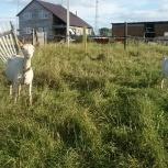 Продам коз, Новосибирск