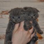 шотландкие котята, Новосибирск