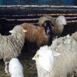 Продам овец, ягнята в подарок, Новосибирск