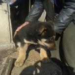 Очаровательный мальчик ищет дом! Щенок овчарки (помесь), Новосибирск