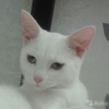 Абсолютный блондин-котэ молоденький голубоглазый  - глаз не оторвать, Новосибирск