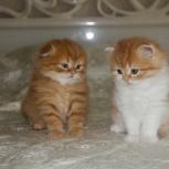 Шотландские котята. хайленды, Новосибирск