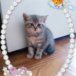 Британчики котята, Новосибирск