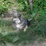 Маленькая собачка Кукла ищет семью., Новосибирск