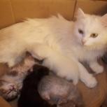 Потерялась белая кошка на даче, Новосибирск