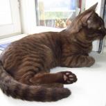 Найден молодой шоколадный кот на улице Сибиряков-гвардейцев, Новосибирск