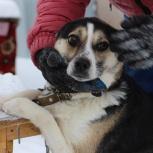 Красивая собака-компаньон Масенька ждет своих хозяев в приюте!, Новосибирск