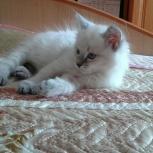 Невский котенок 2,5 месяца, Новосибирск