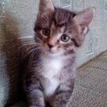 Кошка шикарная девочка курильского бобтейла, Новосибирск