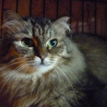 Фенотип сибирской кошки 1,5 года, Новосибирск