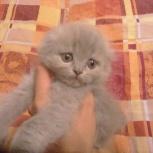 Продам вислоухого котенка (мальчик), Новосибирск