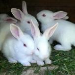 Белый великан крольчата чистопородные, Новосибирск