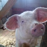 Натуральная, вкусная, деревенская свинина, Новосибирск