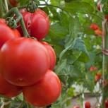 Домашние помидоры, Новосибирск