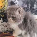 Шотландский большиглазый котик Хайленд страйт, Новосибирск