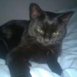 Найдена черная Британская кошка, Новосибирск