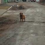 Найдена собака, Новосибирск