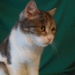 Кошка полубританочка Маша, Новосибирск