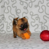 Красавчик Гарфилд, щенок чихуахуа, Новосибирск