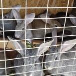 Мясные кролики, Новосибирск