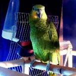 Улетел попугай венесуэльский амазон, Новосибирск