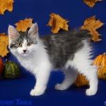 Продам котёнка курильского бобтейла, Новосибирск