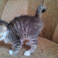 Котёнок курильского бобтейла даром, Новосибирск