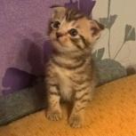 Продам шотландских котят, Новосибирск
