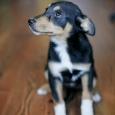 Отдам бесплатно в любящие руки щенка, Новосибирск