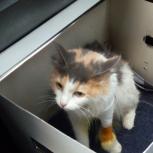 Найдена кошка !, Новосибирск