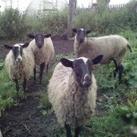 Овцы романовские, Новосибирск