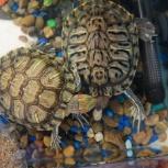 Красноухии водяные черепахи, Новосибирск