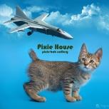 котенок Пиксибоб Маршал Покрышкин асс авиации, Новосибирск