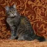 Кошечка Тася – настоящая красотка в полосатой шубке ищет дом!, Новосибирск
