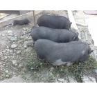 Вьетнамские травоядные вислобрюхие свинки и свины, Новосибирск