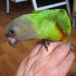 Сенегальский попугай, птенец-выкормыш, Новосибирск