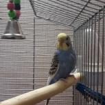 Продам волнистых попугаев, Новосибирск