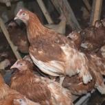 Молодые домашние куры, утята Муларды, цыплята, Новосибирск