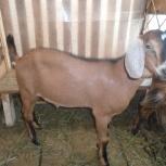 Нубийский козёл, Новосибирск