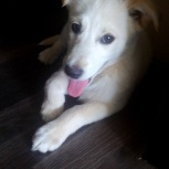 умненькая, добрая, воспитанная собачка Боодер колли (помесь), Новосибирск