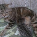Продам котят., Новосибирск