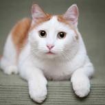 Лавруша – крупный кот с красивой внешностью ищет дом!, Новосибирск