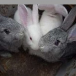 Крольчата, Новосибирск