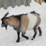Продам козла, Новосибирск