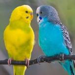 Волнистые попугайчики, Новосибирск